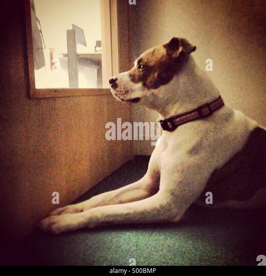 A Pit bull terrier dog gazes out a door window - Stock Image