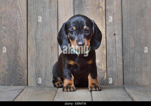 Miniature Puppy Sossage Dog