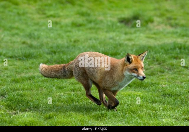 Red fox, Vulpes vulpes, running - Stock-Bilder
