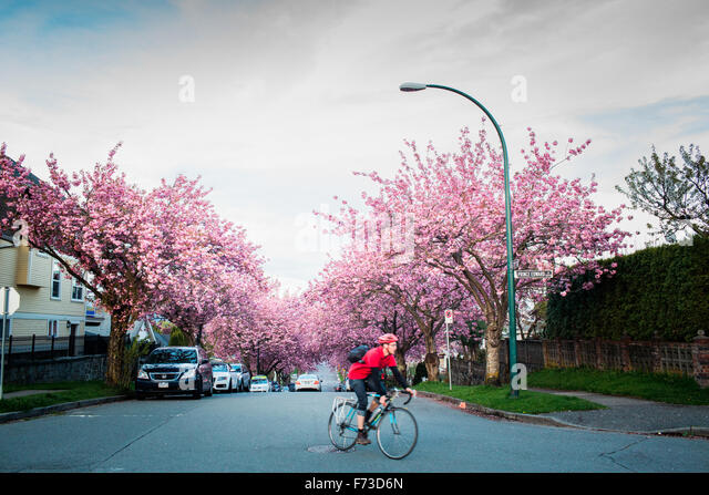 VANCOUVER, BRITISH COLUMBIA, CANADA. A bike commuter in red rides down a residential street with cherry blossoms - Stock-Bilder