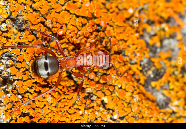 Blood-red Slave-making ant (Formica sanguinea) adult worker on lichen. Ariege Pyrenees, France. June. - Stock Image