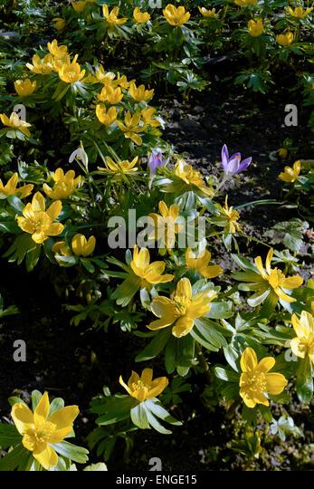 Yellow winter aconite in January sunshine - Stock Image