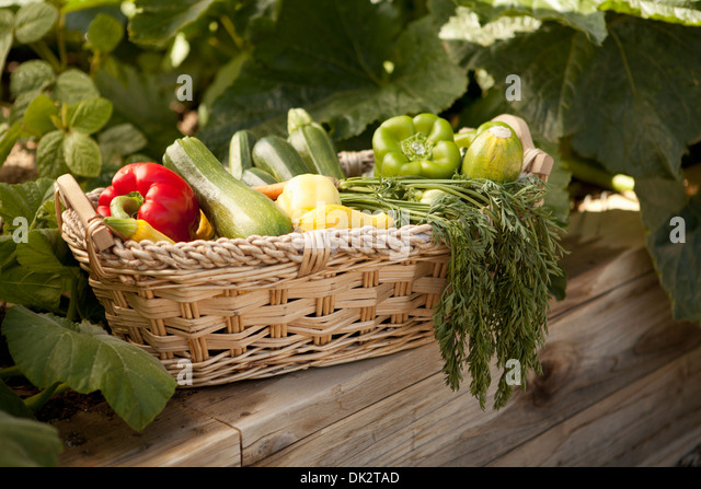Variety of organic harvested vegetables in basket in vegetable garden - Stock Image