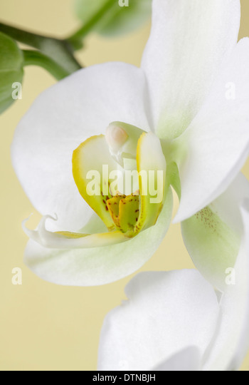 Close up of white orchid - Stock Image