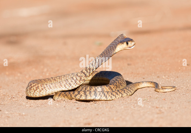 Ring Snake Colony