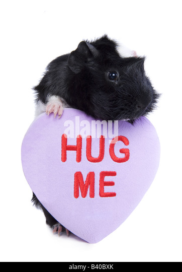 Cute Black and white Valentine Guinea pig or Cavy with purple heart that say s HUG Me isolated on white - Stock Image