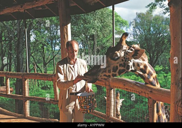 man feeding Rothschild s giraffe with cattle pellets at Langata Nature Education Centre Giraffe Manor Nairobi Kenya - Stock Image