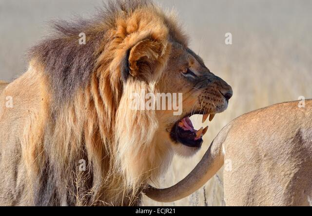 Roaring Lion Portrait Stock Photos & Roaring Lion Portrait ...