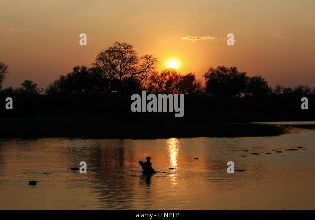 Hippo rising out of water at sunset, Okavango Delta, Botswana - Stock Image