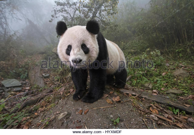 An analysis of the china conservation and research centre for the giant panda in wolong