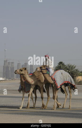 racing camels and Jockey at Dubai, Emirates - Stock Image