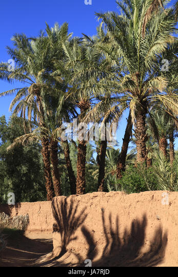 Oasis Date Palm Garden Tree Stock Photos Oasis Date Palm