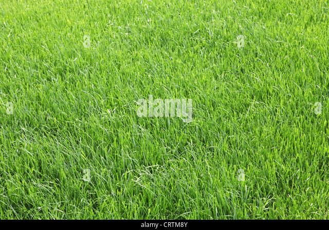Texture green young grass - Stock-Bilder