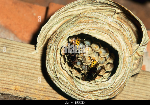 Hornets (Vespa crabro) at nest with larvae, Germany, Europe - Stock-Bilder