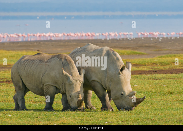 rhinos in lake nakuru national park, kenya - Stock Image