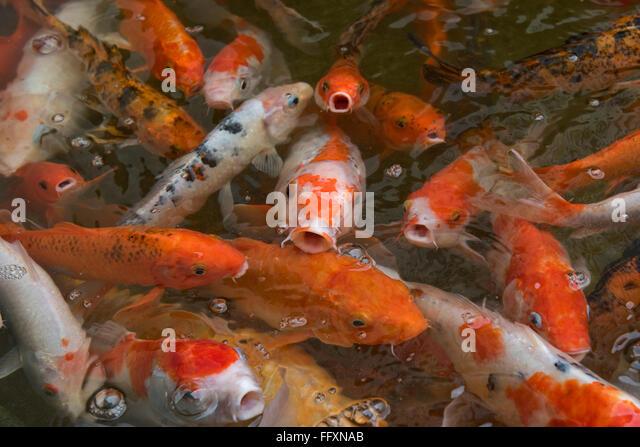 Koi carp stock photos koi carp stock images alamy for Plastic koi fish