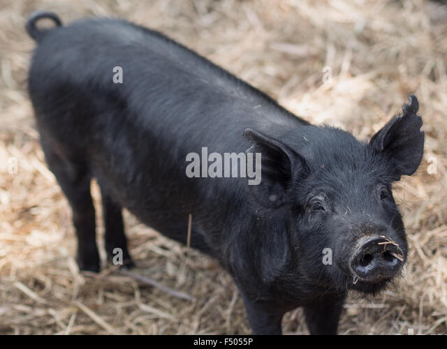 Black Cute Pig Stock Photos & Black Cute Pig Stock Images ...