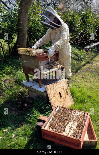 beekeeper inspecting  bee colony in spring - Stock Image