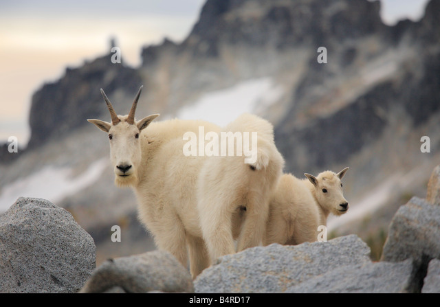 Mountain goat doe and kid in the Enchantment Lakes Wilderness in Washington state - Stock Image