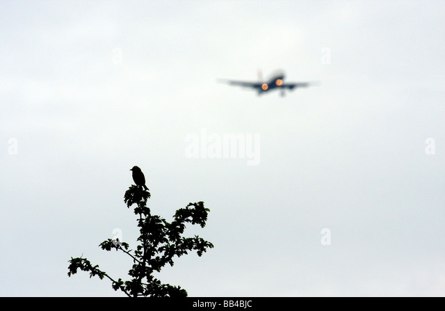 Silhouette of Goldfinch sitting on a tree with aircraft landing at heathrow in background - Stock Image