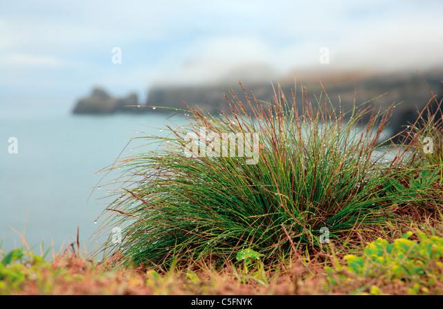 Azores islands endemic flora: Festuca petraea Guthnick. Portuguese name is 'bracel-da-rocha' or 'braceu'. - Stock Image