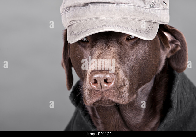 Shot of a Handsome Chocolate Labrador in Hat and Jumper - Stock Image