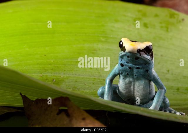 poison frog, Dendrobates tinctorius tropical rainforest animal on green leaf - Stock-Bilder