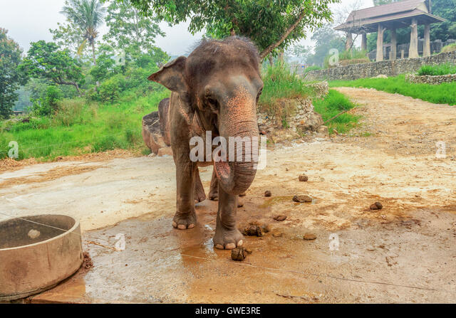 Animals mammals elephants farm breed life meat nature industry distribution Songkhla Zoo elephant. Selected focus - Stock Image