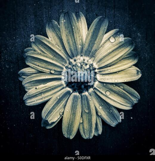 Daisy backwards flower - Stock Image