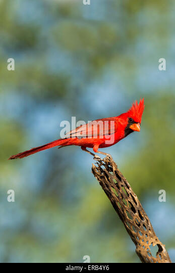 Northern Cardinal Cardinalis cardinalis Amado, Santa Cruz County, Arizona, United States 15 May      Adult Male - Stock Image