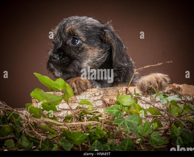 Studio portrait of Border Terrier Puppies - Stock Image