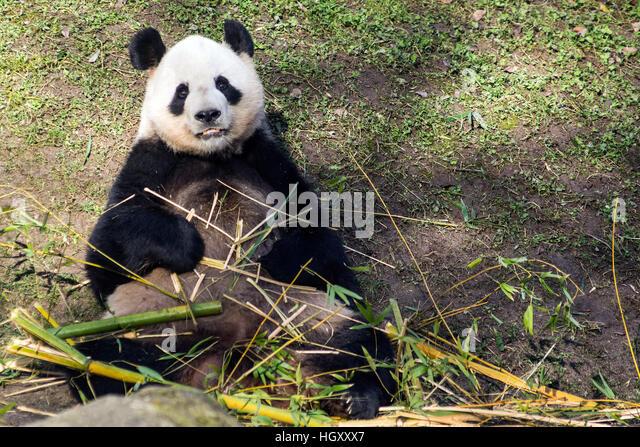 Panda bear eating bamboo at Madrid Zoo Aquarium - Stock Image