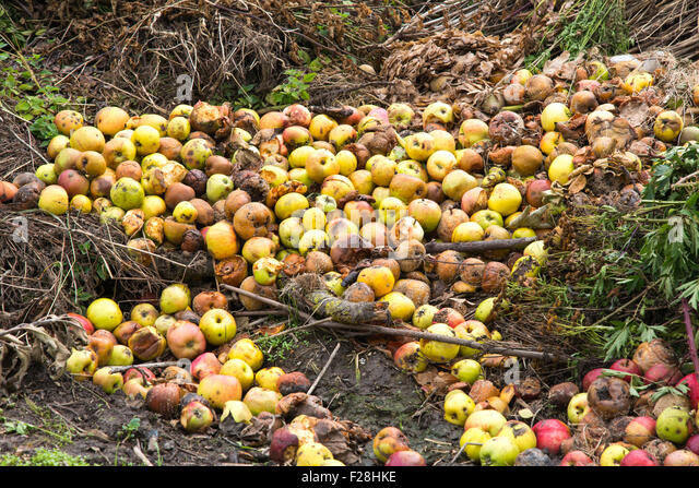 Rotten green and yellow apples with other waste on a compost heap on an allotment site - Stock Image