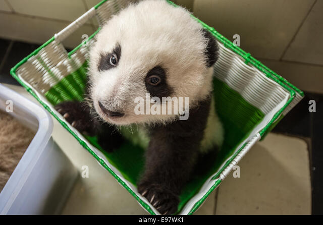 A baby captive bred panda sits in a basket as it is moved from a building at the panda breeding center of Bifengxia - Stock Image
