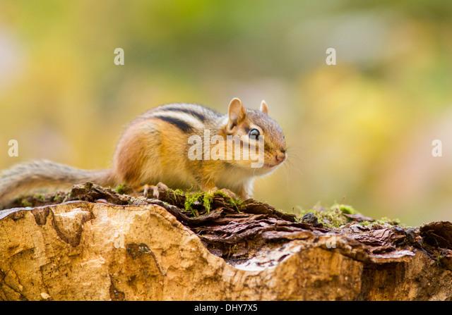 The Eastern Chipmunk (Tamias striatus) on the golden light. - Stock-Bilder