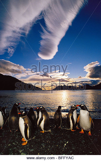 Gentoo penguins at midnight, Pygoscelis papua, South Georgia Island - Stock Image