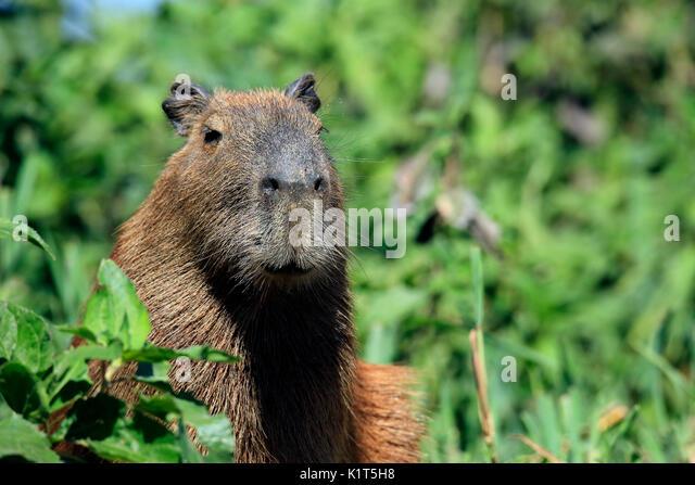 Close-up of a Capybara. Pantanal, Brazil - Stock Image