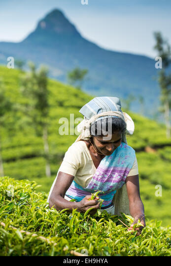 Tea picking, Tea plantation near Hatton, Central Province, Sri Lanka, Asia - Stock Image