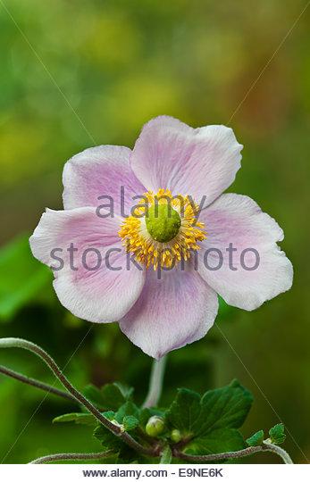 Japanese Anemone September Charm - Stock Image