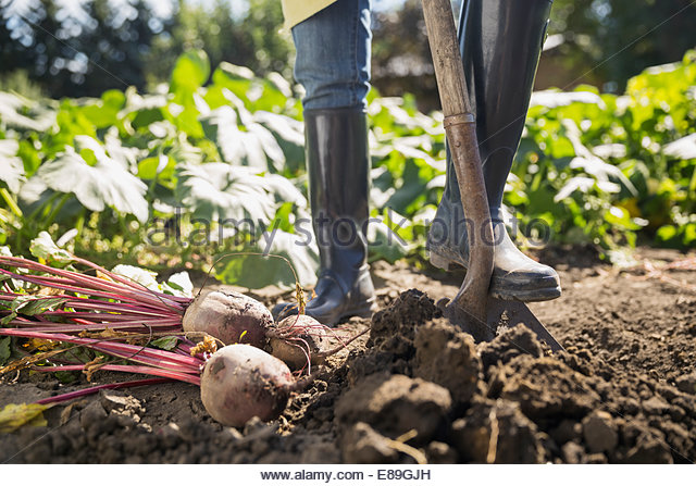 Woman harvesting rutabaga in vegetable garden - Stock Image