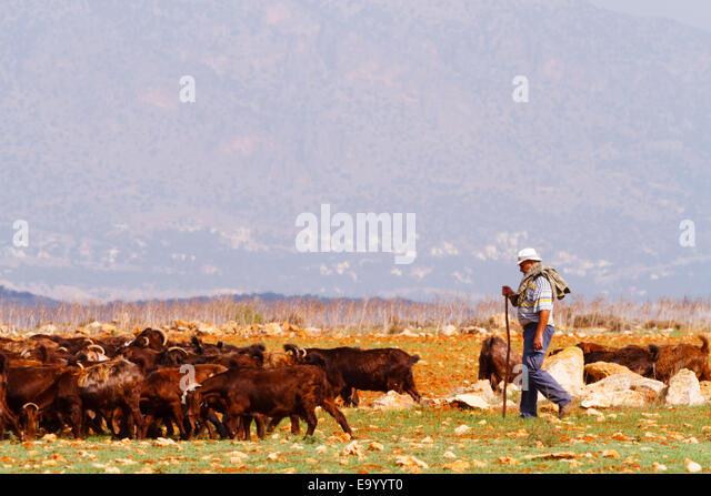 Cypriot goat herd with his flock, Mammari, Cyprus - Stock Image
