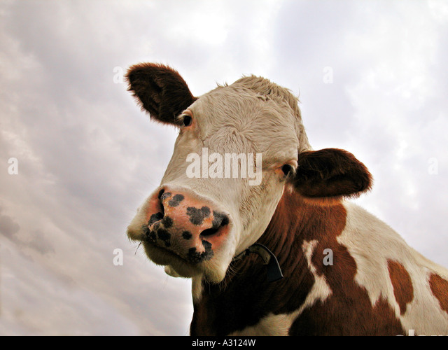 cow - portrait - Stock Image