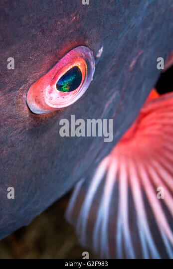 A close up of the eye of a sheepshead fish shows the detail and beauty of a wild aquatic animal - Stock-Bilder