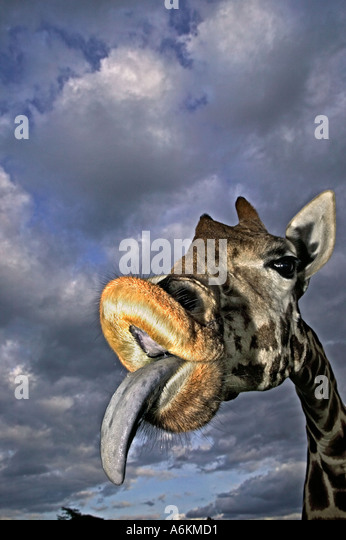 Rothschild Giraffe Giraffa camelopardalis rothschildi Portrait of adult and tongue extended with stormy sky in background - Stock Image