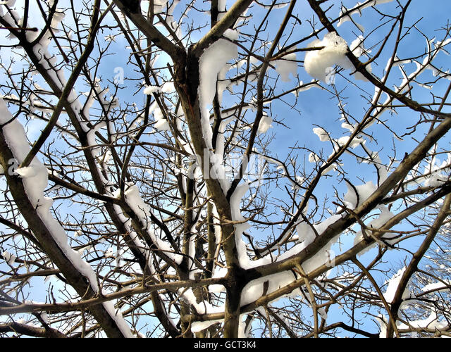 Sunlit branches covered in snow against a blue sky. - Stock Image