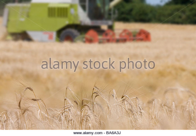 Harvester in barley field - Stock Image