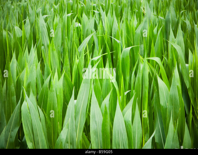 Maize corn crops close up - Stock Image