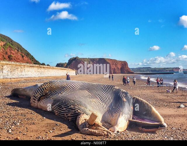 S W Coast Path, Dawlish, UK. 30th Sep, 2016. Dead whale washed up at Red Rock, Dawlish, Devon © nidpor/StockimoNews/Alamy - Stock Image