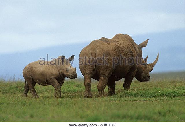 white rhinoceros square lipped rhinoceros grass rhinoceros with cub Ceratotherium simum - Stock Image