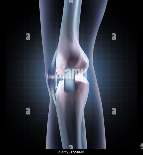 Knee anatomy medical concept as a sideview of a human leg joint with tendons and ligaments as an orthopedic symbol - Stock-Bilder